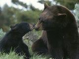 Captive American Black Bear and Cub Fotografisk tryk af Norbert Rosing