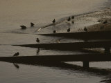 Birds Wade on the Beach at Neah Bay Photographic Print by Sam Abell