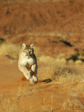 Mountain Lion Running Towards Camera Photographic Print by Norbert Rosing