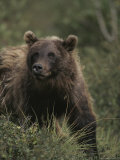Portrait of a Grizzly Bear Photographic Print by Michael S. Quinton