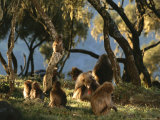 A Family Group of Geladas Forages for Grass Photographic Print by Michael Nichols