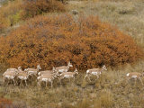 Pronghorn Herd, Yellowstone National Park Photographic Print by Norbert Rosing