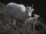 Female Rocky Mountain Goat with Her Kid Photographic Print