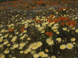 A Close View of California Poppies and Desert Dandelions Photographic Print by Marc Moritsch