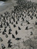 A Group of Jackass Penguins, Spheniscus Demersus, Enjoy the Beach Photographic Print by Tino Soriano