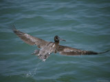 Brown Pelican in Flight Photographic Print by Marc Moritsch