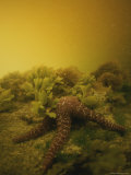 An Underwater View of a Starfish in Waters Clouded by a Red Tide Photographic Print by Bill Curtsinger