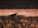 A Silhouetted Egret Captures a Small Crab in the Assateague Marshland Photographic Print by Medford Taylor