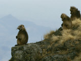 A Family Group of Geladas Sits Near a Cliffs Edge Photographic Print by Michael Nichols