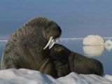 A Female Atlantic Walrus and Her Infant on an Ice Floe Photographic Print by Norbert Rosing