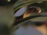 A Small Cobra Slithers Among the Leaves of a Plant Photographic Print by Mattias Klum