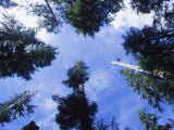 Evergreen Trees Stretch to the Sky in This Ants-Eye-View Photographic Print by Bill Curtsinger