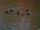 A Group of Ducks in a Pond Photographic Print by Bates Littlehales