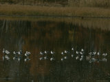 Waterfowl Stand in Shallow Water Photographic Print by Bates Littlehales