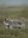 An Alaskan Grey Wolf Prowls for Food in the Tundra Photographic Print