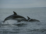 Dusky Dolphins Leap Above the Water as They Track Anchovies Photographic Print by Bill Curtsinger