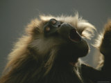 Close View of a Yawning Gelada Photographic Print by Michael Nichols