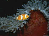 False Clown Anemonefish in Tentacled Sea Anemone Photographic Print by Wolcott Henry
