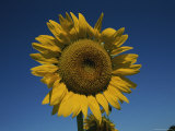 Like a Yellow-Petaled Sun, a Large Sunflower Glows against a Blue Sky Photographic Print by Stephen St. John