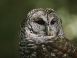 A Close View of the Head of a Barred Owl, Strix Varia Photographic Print by Bates Littlehales