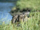 River Otters, Yellowstone Lake Photographic Print by Norbert Rosing