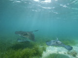 Southern Stingrays Glide Gracefully Through Pristine Waters Photographic Print by Wolcott Henry