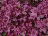 A Burst of Pink Azalea Blossoms Photographic Print by Stephen St. John