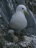 A Kittiwake Papier Photo par Karen Kasmauski