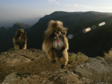 Two Geladas Looking over Their Shoulders Photographic Print by Michael Nichols