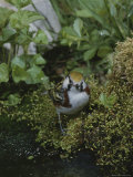 A Small Song Bird Sits in a Patch of Moss Photographic Print by Bates Littlehales