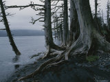 Trees Killed During an Earthquake Line the Shore of Afognak Island Photographic Print by George F. Mobley