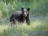 A Black Bear Makes a Meal of Fresh Grass Photographic Print by Bill Curtsinger