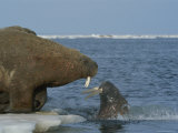 A Large Atlantic Walrus Comes Face to Face with a Surfacing Walrus Photographic Print by Norbert Rosing