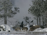 Coyotes Feed on a Dead Bison, While Ravens Wait Their Turn Photographic Print