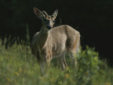 Antlers Begin to Sprout on a White-Tail Bucks Head Photographic Print by Bates Littlehales