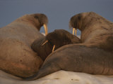 Three Adult Atlantic Walruses Gather Together on an Ice Floe Photographic Print by Norbert Rosing