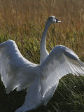A Trumpeter Swan Stretches His Wings Amid a Field of Tall Grasses Photographic Print by Michael Melford