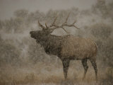 Wapiti, or Elk, Male Amidst Falling Snow Photographic Print by Norbert Rosing