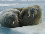 Two Atlantic Walruses Rest on an Ice Floe Photographic Print by Norbert Rosing