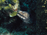 A Spotted Moray Eel, Gymnothorax Meleagris, Peers from its Lair Photographic Print by Bill Curtsinger
