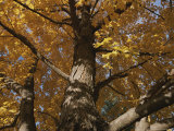 A Tree Trunk Surrounded by Yellow Autumn Leaves Photographic Print by Stephen St. John