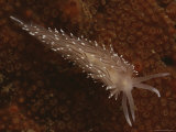 A Close View of a Red-Gilled Nudibranch, Coryphella Rufibranchialis Photographic Print by Bill Curtsinger