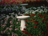 Bird-Baths Surrounded by Colored Geraniums Photographie par Stephen St. John