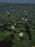 Blooming Water Lilies Fill a Body of Water Photographic Print by Bates Littlehales