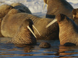 Atlantic Walruses Bask in the Sun Near an Ice Floe Photographic Print by Norbert Rosing