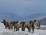 Wapiti, or Elk, Harem with Male in Winter Photographic Print by Norbert Rosing