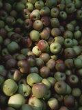 Dappled Light Across a Bin of Fresh-Picked Apples Photographic Print by Stephen St. John