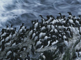 Common Murres Gather on the Rocks Photographie par Karen Kasmauski