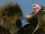 A Male Gelada Bares His Teeth and Gums Photographic Print by Michael Nichols