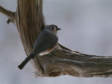 A Tufted Titmouse Photographic Print